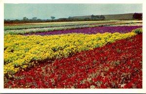 California Santa Maria Valley Lompoc Seed Flower Fields