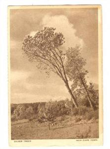 Silver Trees, Near Cape Town, South Africa, 1910-30s