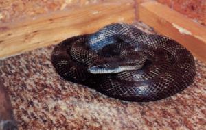 Snake - Black Rat Snake