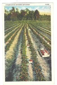 Strawberries Growing in Florida, 10-20s