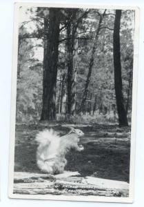 RPPC of White Tailed Squirrel found only in Kalbab Forrest AZ