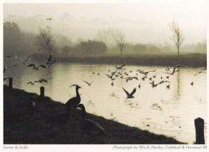 Coltishall Horstead Norfolk Geese Gulls Birds at Dusk Postcard