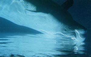 Beluga Whale (White)