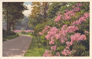 Biltmore House & Gardens Series #3 - Kalmia in Bloom on Approach Road, Ashevi...