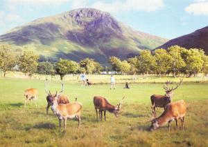 Postcard Red Deer at Lochranza Golf Club, Isle of Arran, Scotland H96