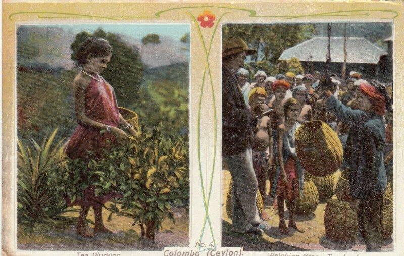 Plucking & Weighing Green Tea , CEYLON , 1900-10s