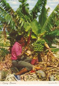 Bahamas Cutting Bananas The Fruit Of The Tropics
