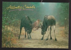 NEWFOUNDLAND - 2 Bull Moose Locking Antlers - Unused