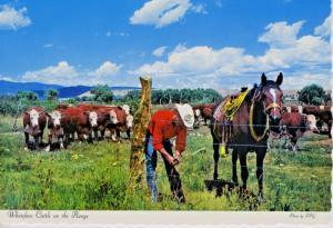 Cowboy Mends Fence Rancher Horse Whiteface Cattle On Range Alberta? Postcard D22