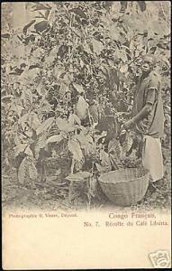 French Congo, Native Boy Collecting Liberia Coffee 1899