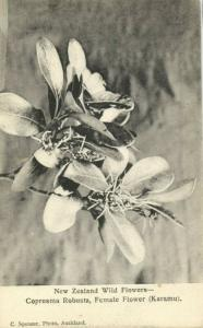 new zealand, Wild Flowers, Coprosma Robusta Karamu Female Flower 1900s Postcard