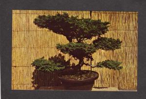 MA Bonsai Tree Plant Arnold Arboretum Jamaica Plain Mass Massachusetts Postcard