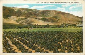 An orange grove near the foothills California United States
