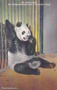 Giant Panda Bear Chicago Zoological Park At Brookfield Illinois Curteich 1945