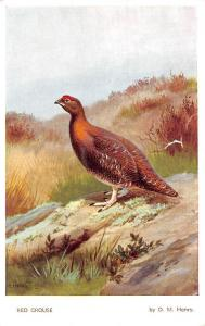 Red Grouse (Lagopus scoticus scoticus) fauna bird oiseau, by D.M. Henry