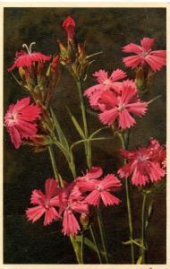 Flowers -    Dianthus, Wild Pink           (Thor & Gyger #1688)