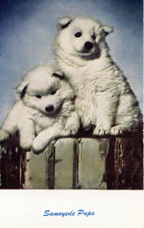 Dog -  Samoyed Pups