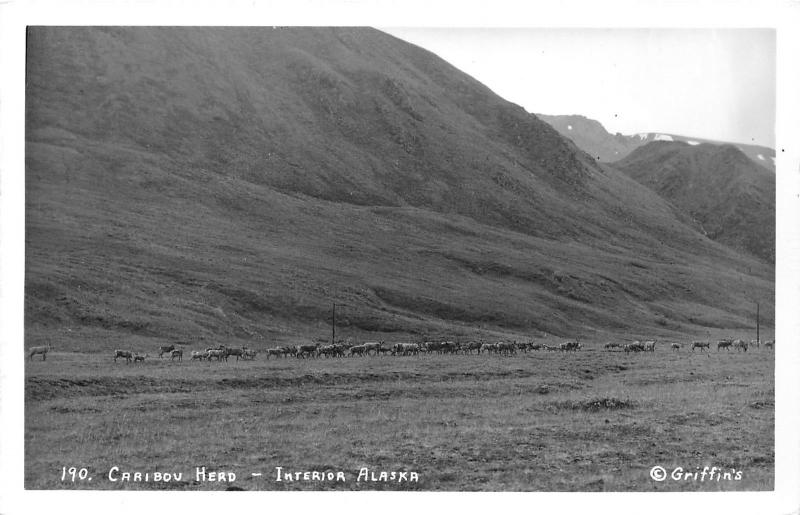 Interior Alaska~Caribou Herd in Valley~Reindeer~1950s Griffin's RPPC Postcard