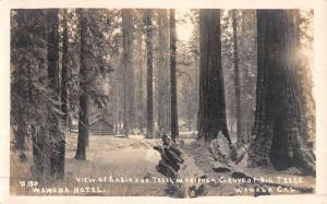 Wawona California Mariposa Trees Real Photo Antique Postcard K48202