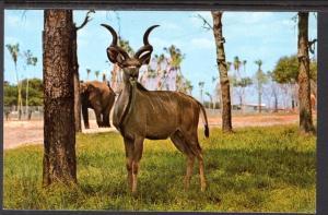 Greater Kudu,Busch Gardens,Tampa,FL