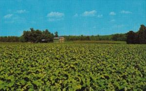 Tobacco Field Showing Curing Barn In Background