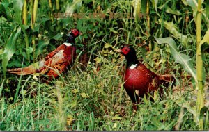 Birds Pheasants Greetings From Bristol Wisconsin
