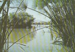 Israel Hula Marshes Papyrus Plants Lake Of Galilee