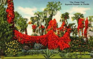 Florida Beautiful Flame Vine In Full Bloom Curteich