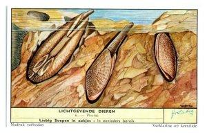 Pholas Piddock Bi-Valve Mollusk, Luminous Animals Liebig Belgian Trade Card