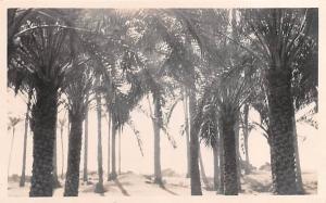 Memphis Egypt, Egypte, Africa Palms Memphis Palms