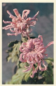 China flowers pink color Postcard