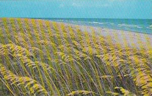 South Carolina Hilton Head Island Sea Oats On South Carolina Coast