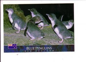 Blue Penguins, New Zealand