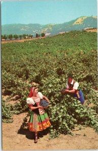 Italian Swiss Colony Winery Asti California postcard  - Vineyard Scene