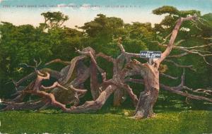 Ram's Horn Tree on 17 Mile Drive near Monterey CA, California - DB