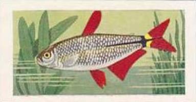 Amalgamated Tobacco Vintage Cigarette Card 1961 No 17 Buenos Aires Tetra