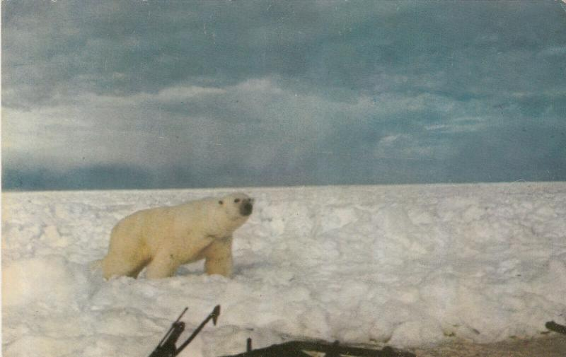 BARROW , Alaska , 40-60s ; Polar Bear on Ice Flow