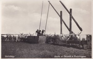 Hortobagy Oxen Drinking Trough Hungary Old Photo Postcard