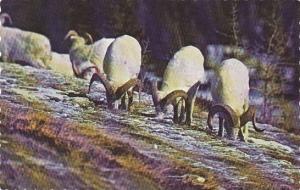 Dall Sheep Rams, Kluane National Park, Yukon, Canada, PU-1977
