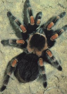 Red Legged Tarantula Poisonous Insect Rare 1980s Postcard