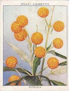 Wills Vintage Cigarette Card Flowering Shrubs 1934 No 1 Buddleia