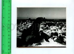 220974 Soviet Antarctic station Bellingshausen Sea lion photo