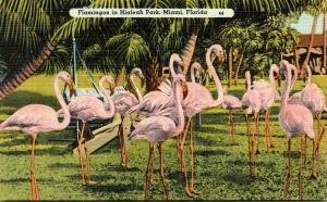 Birds Flamingo At Hialeah Park Miami Florida 1942