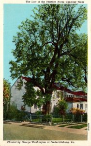 Virginia Fredericksburg Last Of The Thirteen Horse Chestnut Trees Planted By ...
