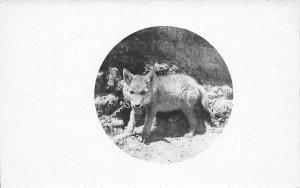 F53/ Alliance Nebraska RPPC Postcard 1911 Coyote Pet Animal