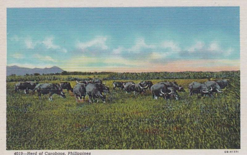 Philippines Herd Of Carabaos Curteich