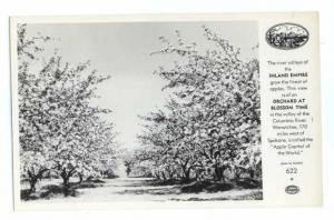 RP of Apple Orchards at Blossom Time near Wenatchee WA