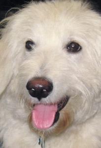 Pretty White Dog