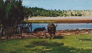 Native Carabao (Or Water Buffalo), Guam, 1940-1960s