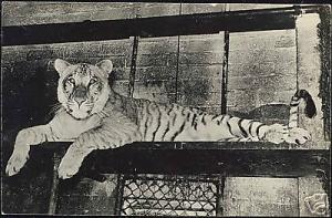 Resting TIGER TIGRE TIJGER in Cage (1940s) RPPC